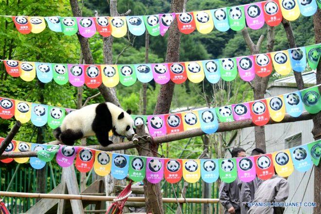 Böyle doğum günü görülmedi! 18 yavru panda için çılgın bir parti düzenlendi