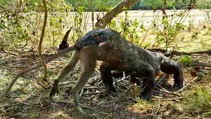 Anbean kamerada! Komodo ejderi, zehirlediği maymunu canlı canlı yedi