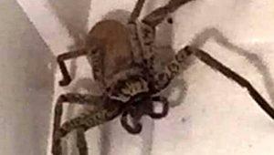 Odanın tavanında 8 ayaklı dev örümceği gören kadın dehşete düştü!