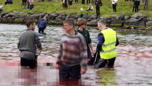 Tepkiler çığ gibi büyüyor! Yüzlerce balina hunharca katledildi