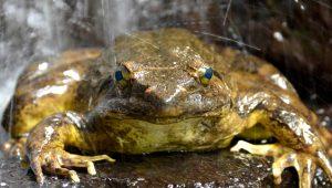 Dünyanın en büyük kurbağası! Yavruları için gölet inşa ediyor