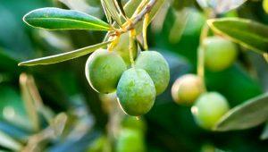Kilo vermenizi sağlıyor, kalp sağlığını koruyor! İşte zeytinyağının mucizevi faydaları