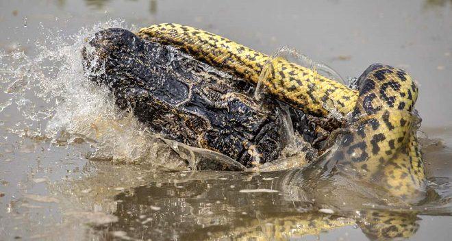 Ölümcül mücadele böyle fotoğraflandı! Anakonda, dev timsahı dakikalar içinde öldürdü
