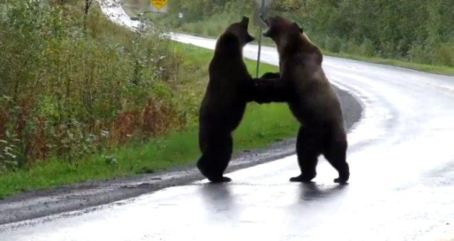 İki devasa boz ayı yolun ortasında birbirine girdi!