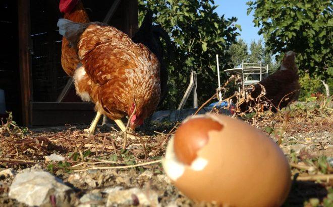 Yumurtanın içinden çıkan şeyi görenler hayrete düştü!