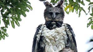 Kuş kostümü giymiş insan değil, o sadece Harpy Kartalı!