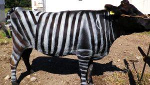 İnekleri zebra gibi boyuyorlar! Öyle bir sebebi var ki duyan hayret ediyor