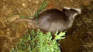 Tekirdağ'da ilk kez görüldü! Devasa fareyi andırıyor