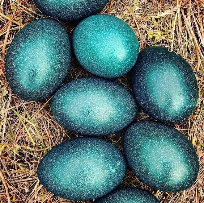 Her biri yarım kilo ağırlığında olan emu kuşu yumurtaları