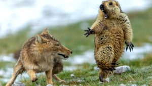Tilkiyle dağ sıçanının tartışması olay oldu! İşte Yılın Yaban Hayatı Fotoğrafları