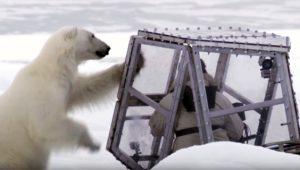 Kutup ayılarını görüntülemek istedi, az daha canından oluyordu!