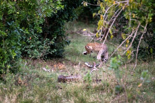 Anbean kamerada! Leopara kafa tutan piton, hezimete uğradı