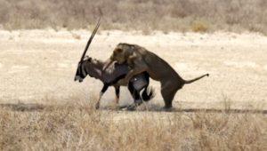 Yürek burkan kare! Yaralı antilop, göz göre göre ölüme yürüdü!