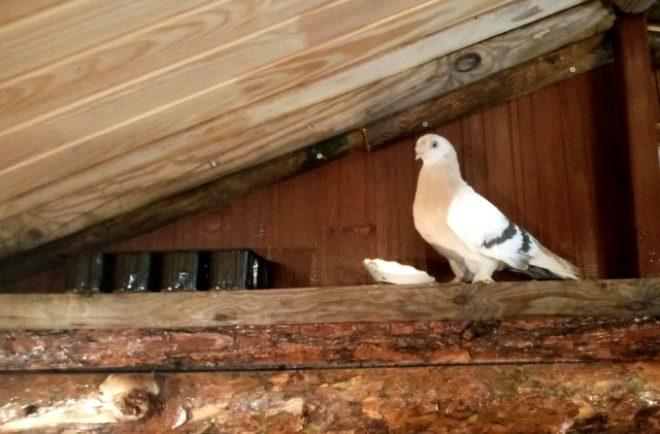 Soğukta aç kalan güvercin taksi durağına sığındı!