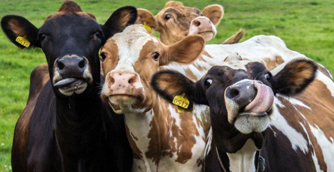 Bilim insanları ineklerin kendi aralarında konuştuklarını ileri sürdü