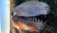 Tuz bataklığında bulunan 5 metrelik canavarın midesinden çıkanlar şoke etti!
