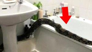 Evinin tuvaletinde dehşeti yaşadı! 2 metrelik boa yılanı ile burun buruna geldi