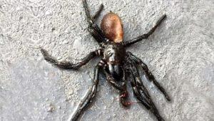 Isırdığını 10 dakikada öldürüyor! Yangın ve selin vurduğu Avustralya'da katil örümcek alarmı