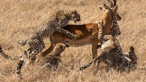 Vahşi doğada ölüm kalım savaşı! 5 jaguara karşı mücadele eden antilop kurtuldu