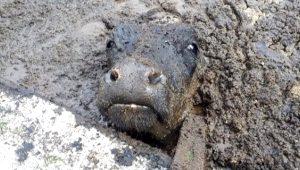 Pirina havuzuna düşen ineğin çırpınışı! İş makinesiyle 1 saatte kurtarıldı