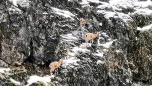 Gören telefona sarıldı! Aç kalan dağ keçileri sürü halinde şehre indiler