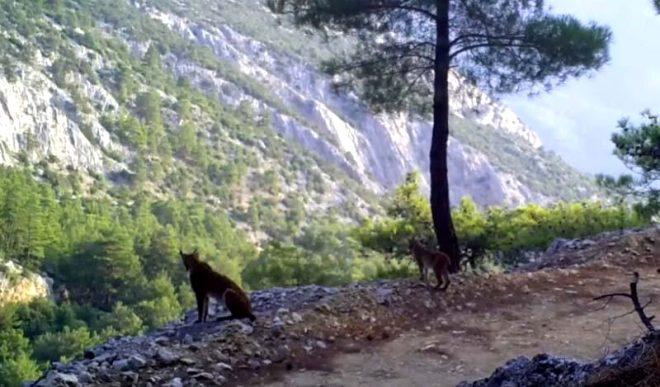 Antalya'da ürküten görüntü! Yaban hayvanları fotokapana böyle yakalandı