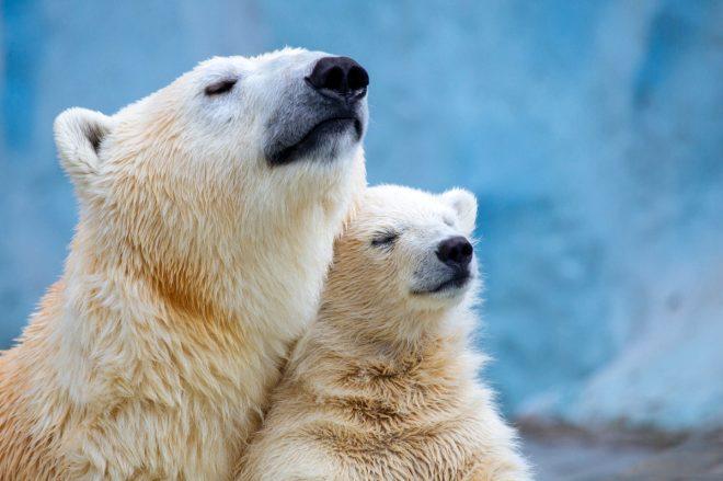 Yamyama dönüştüler! Avlanmakta zorlanan kutup ayıları yavrularını yemeye başladı