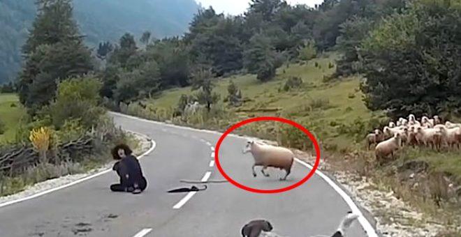 Köpekten korkan koç, çobanı boynuz darbesiyle asfalta yapıştırdı