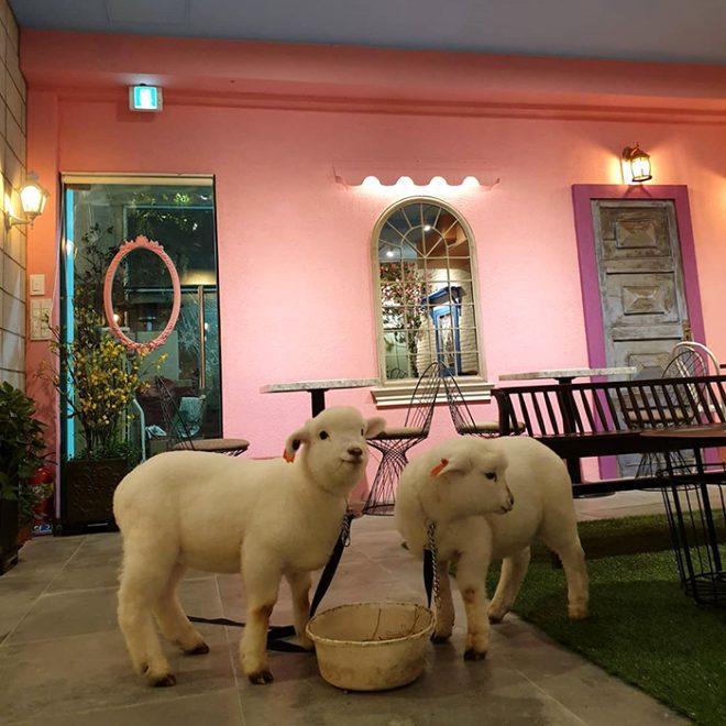 Güney Kore'deki koyunlu cafede çekilen kuzunun bu görüntüsü sosyal medyayı salladı!