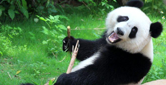 Koronavirüs salgını pandalara yaradı! Nesli tükenmekte olan pandalar yaklaşık 10 yıl sonra ilk kez çiftleşti