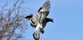 Posta güvercinlerinin yollarını düşük frekanslı ses dalgalarıyla bulduğu ortaya çıktı
