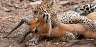 Yemek için yakaladığı impalanın hamile olduğunu anlayan leopardan inanılmaz tepki
