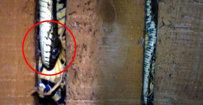 Çatıdan giren yılanlar evi talan etti! Ailenin korkup kaçtığı evden 20 tane daha çıktı