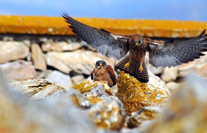 Kerkenez kuşu ile karga arasında inanılmaz üstünlük mücadelesi!