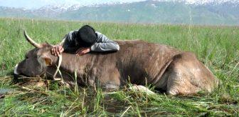 Tek geçim kaynağı olan ineği bataklığa saplanan yaşlı adamın çaresiz bekleyişi yürek burktu!