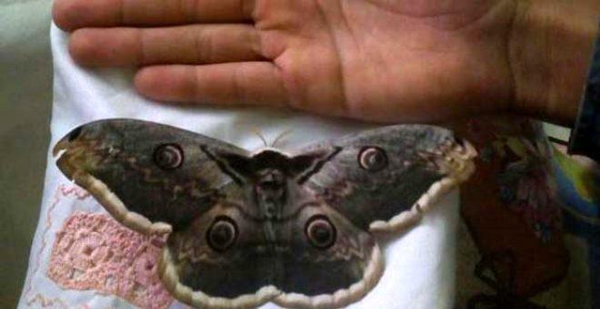 16 cm'lik kelebek, büyüklüğü ile yayla sakinlerini şaşkına çevirdi