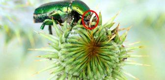 Hiçbir fırsatı kaçırmıyorlar! Altın böceğinin en savunmasız olduğu an atağa geçtiler
