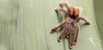 Pembe ayak parmaklı örümcek, boyundan büyük kuşu dakikalar içinde mideye indirdi