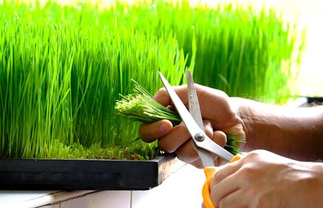 Bağışıklığı demir gibi yapan yeşil mucize: Arpa çimi