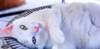 Fazla parmakları olduğu için sokağa atılan kedi internette fenomen oldu