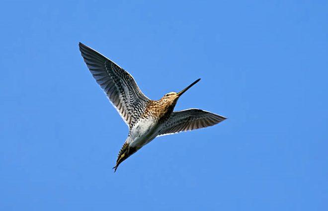 Aralıksız 11 gün uçan kuş kıtalar aştı! 12 bin kilometreyle dünya rekoru kırdı