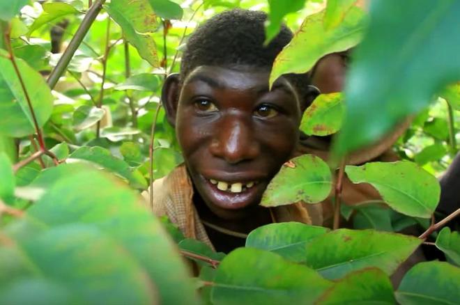 Sadece meyve ve bitkilerle besleniyor! Ormanın gerçek kralını görenler hayretler içerisinde