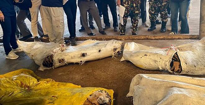 Hayvanat bahçesine baskın yapan polis, 20 kaplanın ölüsünü buldu! Bir tanesinin başı kesikti