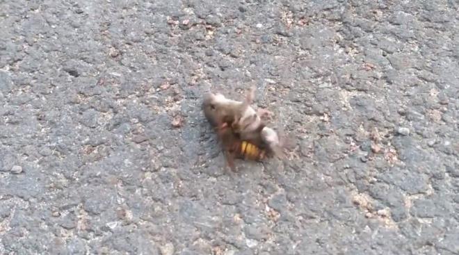 Dakikalarca kurtulmaya çalıştı ancak nafile! Eşek arısının fare avı dehşete düşürdü