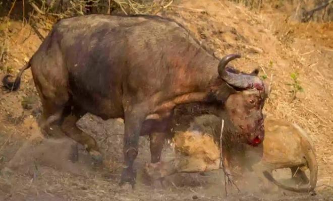 Pişmanlığın son bakışları! Aslan ve bufalo arasındaki ölümcül mücadelede şaşırtan final