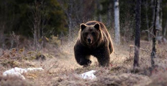 Köpeklerini gezdirmek için yürüyüşe çıkan kadını, ayı parçalayıp yedi