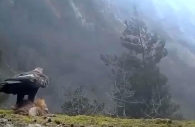 Avladığı tilkiyle uçuşa geçen kartalın görüntüsü tüyler ürpertti