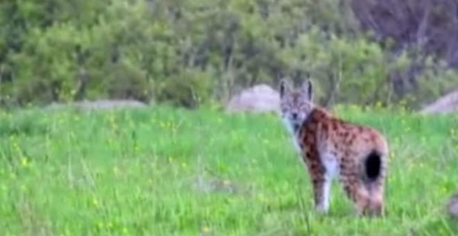 Bir an durdu ve dönüp baktı! 'Ormanın hayaleti' fotoğrafçıya böyle poz verdi