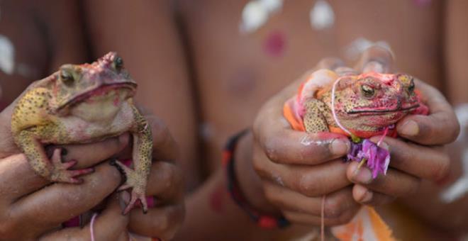 Bu görüntü yalnızca bir ülkede olur! Yağmur yağsın diye 2 kurbağayı törenle evlendirdiler