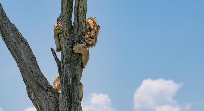 Bufaloların köşeye sıkıştırdığı aslan bakın ne yaptı! İşte güldüren kaçış planı